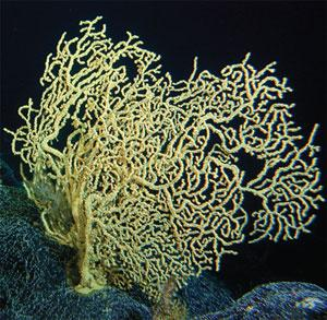 Colonies of gold coral Gerardia (pictured) can persist for more than 2700 years, while a black coral, Leiopathes, has been dated to 4265 years