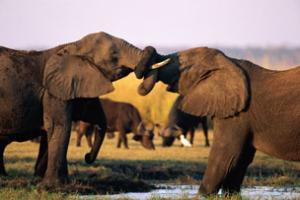 The African elephant was moved down the extinction