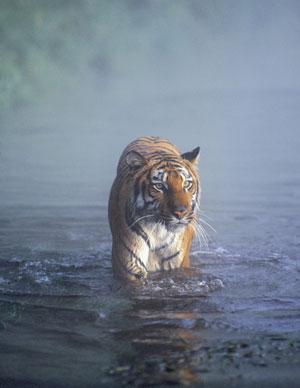 Tigers could benefit from green power schemes to curb encroachment into reserves