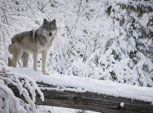 Wolves have been found to roam much further afield than thought