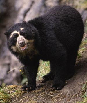 A Spectacled Bear (Tremarctos ornatus), in the Andes, Ecuador