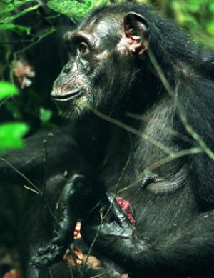 Isha, an adult female wild chimpanzee, holding a piece of meat (the foot of a black and white colobus monkey) that she received from an adult male chimpanzee