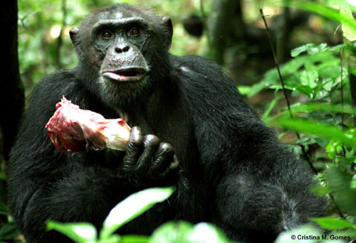 Sagu, an adult male chimpanzee, holding the rib cage of a red colobus