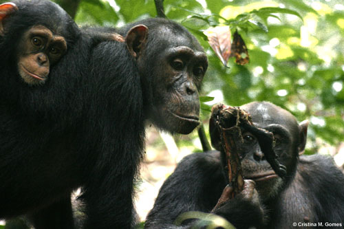Utan, an adult male, holding a piece of meat of a red colobus; with Kinshasa, an adult female chimpanzee with her infant Kirikou on her back, begging from Utan