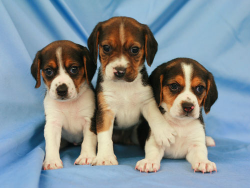 Ruppy's puppys. The ones on the ends have the RFP gene, while the one in the centre does not. Ruppy was bred to a non-transgenic dog, and fluroescent puppies were born in the expected Mendelian ratio