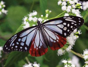 Spring-like scales help butterflies with see-through wings keep dry