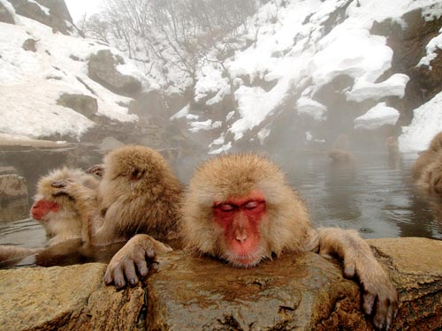 The snow monkeys of Hell's Valley