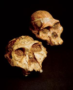 Two australopithecine fossils. Top: a gracile australopithecine, Australopithecus africanus known as