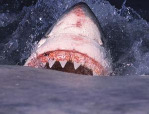 A great white shark, Carcharodon carcharias, feeds on a whale carcass at Seal Island, False Bay, South Africa