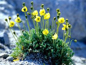 The Arctic Poppy and other high-latitude flowers have parabolic shapes to focus sunlight on the reproductive parts at their centres. Physicist Freeman Dyson says such plants might evolve on other worlds as well