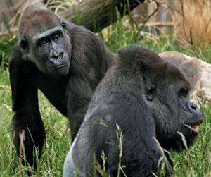 A female gorilla (left) sends a