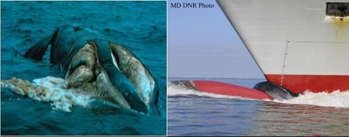 Whales killed by ship strikes: (left) North Atlantic right whale cut by propeller; (right) Sei whale draped over the bulbous bow