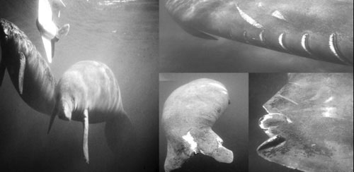 Manatees injured by boat collisions. Most survive collisions with smaller boats, while collisions with larger, slow-moving barges are often fatal
