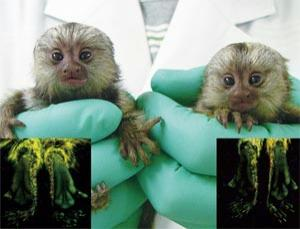 Marmoset offspring from a genetically modified father have feet that glow green on the soles when observed in UV light