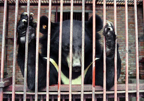 Abused bear in China