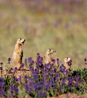Not only do the rodents' alarm calls tell others about the type and size of approaching predators, but they also seem to warn of the colour of an imminent threat