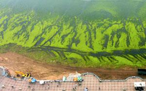 An algae covered beach next to the Olympic Sailing Centre in Qingdao, China