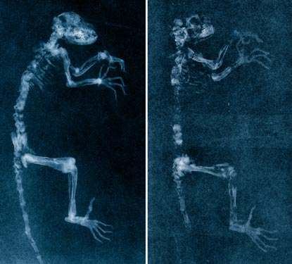 Scans reveal that Ida (left) is all genuine, while the similar fossil on the right was partly fabricated in museum preparation