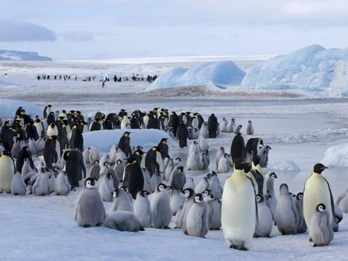 Breeding emperor penguin colonies like this one in Halley Bay can stay in one spot on the ice for eight months, creating a characteristic reddish-brown spot of guano