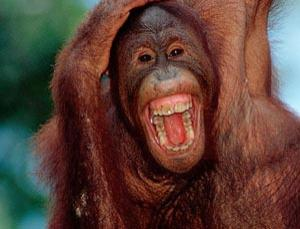 Even orang-utans enjoy a good laugh
