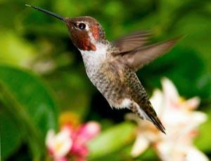 Male Anna's hummingbirds sustain accelerations that would cause a fighter jet pilot to pass out