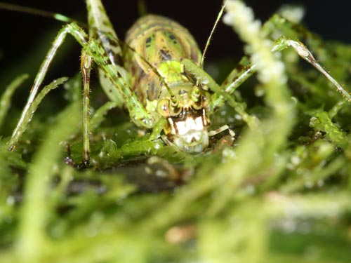 The white-faced gnome katydid may also be a new species. Only two females were found during the 2009 survey in southeastern Ecuador
