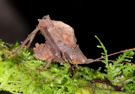 This new katydid, a type of cricket, produces a series of short chirps that are inaudible to the human ear