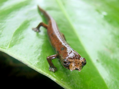 A bug-eyed salamander is was discovered in the Cordillera del Condor. It belongs to the genus Bolitoglossa and may be a new species