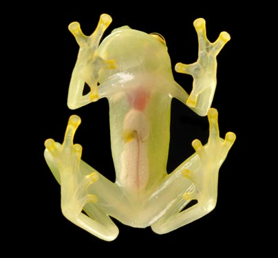 The endangered Hyalinobatrachium pellucidum is a glass frog or crystal frog. Its internal organs can be seen through the translucent skin