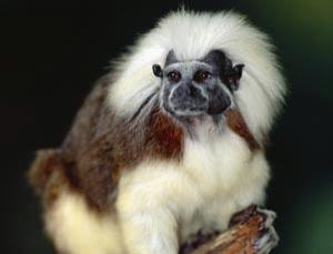 Cotton-top tamarins perform remarkably well on different tests of intelligence