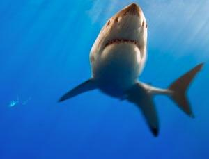 Older sharks prove the better hunters, using proven lairs to ambush prey