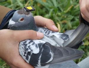 Dubbed the Neurologger, this gadget simultaneously captures brain activity and GPS location of homing pigeons as they navigate over land and sea