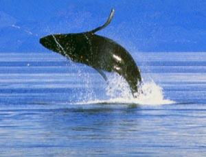 The International Whaling Commission has backed an ambitious Australian plan for non-lethal whale research