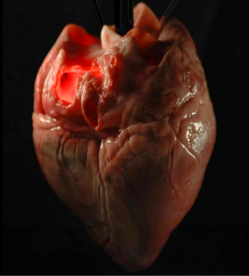 A pig's heart before the process of decellularisation