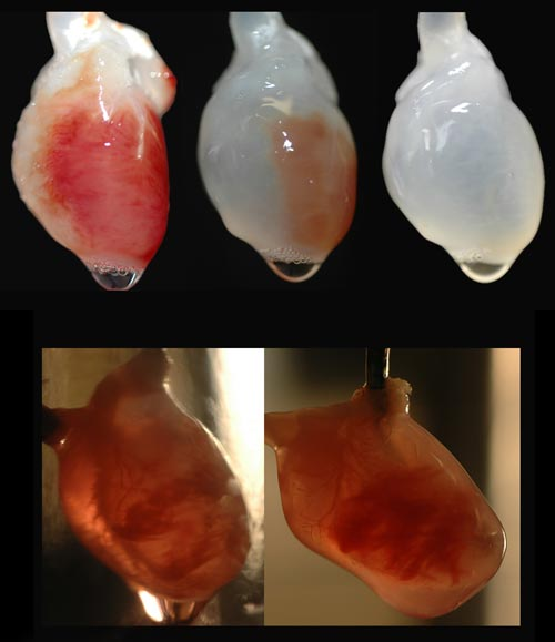 A rat heart undergoing decellularisation (top three images), and during recellularisation (bottom)