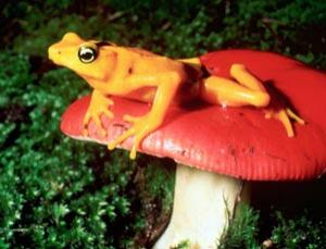 Amphibians like this Golden Frog (Atelopus zeteki) are in grave danger from a fungus that is spreading amongst their populations, but help may be at hand