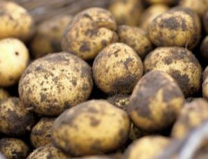 Crops like potatoes are afforded greater protection under the care of Quechua Indians in Peru