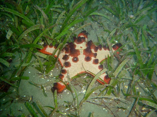 Horned sea stars (Protoreaster nodosus) like sheltered habitats, and often live in seagrass meadows