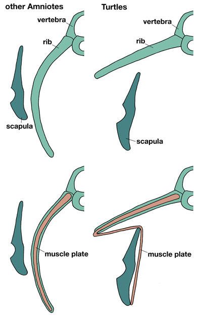 Detail of the turtle rib cage and shoulder blade as compared to a other vertebrates