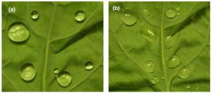 A lotus leaf is superhydrohpobic when splashed with water at room temperature (left). But drop hot water onto its surface and it quickly loses the property (right)