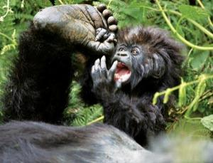 Although numbers have increased mountain gorillas are still critically endangered
