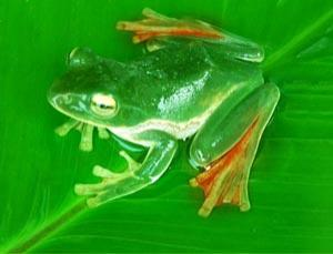 The flying frog is one of many species that could be at risk in the Eastern Himalayan region.