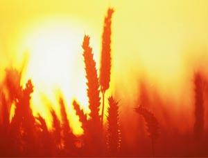 CO2 will take its toll on wheat nutrients