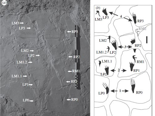 A photograph and drawing of the pterosaur footprints. The lowest prints are of the rear limbs only. Towards the top of the trackway the pterosaur turned to the left and walked away on all fours