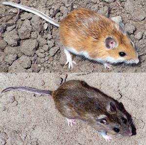 A rapid evolutionary shift has caused this deer mouse to have lighter fur