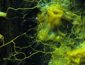 Single-celled slime moulds could be programmed as robots