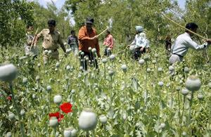 Staff from the Central Bureau of Narcotics destroy the opium poppy crop, Kashmir, India