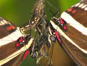 Heliconius charithonia pupal mating behaviour observed by Andrei Sourakov.  Here you can see that one male (left) has inserted his abdomen into the female pupa (centre).  Another male is also perched on the pupa (right)