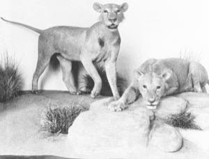 Whats for supper? The Man-Eating Lions of Tsavo as depicted at the Field Museum of Natural History