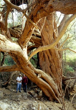An ancient huarango tree.  These were cleared to make room for crops by the Nazca people